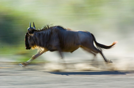 AFW 03 NE0003 01 © Kimball Stock Blue Wildebeest Running On Savanna Tanzania Profile