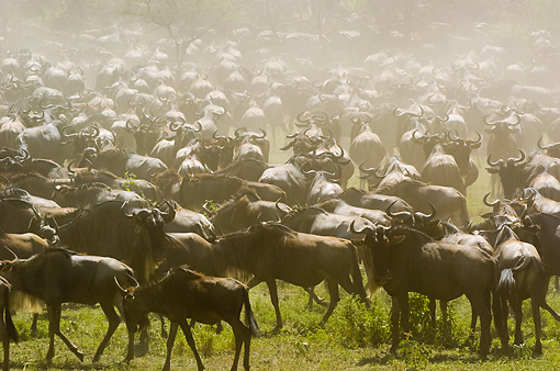 AFW 03 NE0005 01 © Kimball Stock Herd Of Blue Wildebeest Standing On Savanna Tanzania