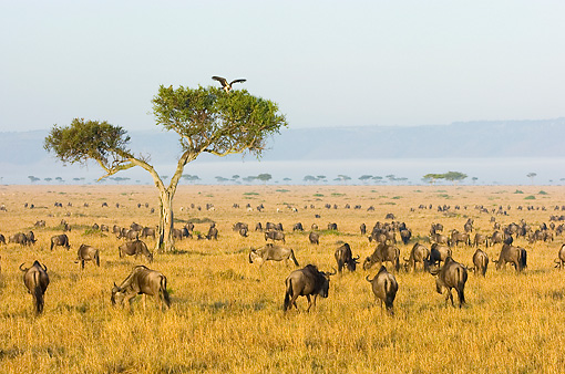 AFW 03 NE0006 01 © Kimball Stock Herd Of Blue Wildebeest Grazing On Savanna Tanzania