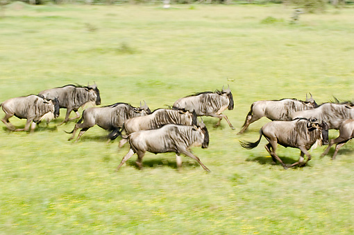 AFW 03 NE0007 01 © Kimball Stock Herd Of Blue Wildebeest Running On Savanna Tanzania