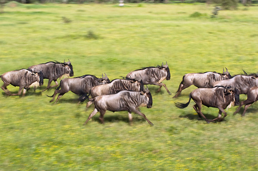 AFW 03 NE0008 01 © Kimball Stock Herd Of Blue Wildebeest Running On Savanna Tanzania