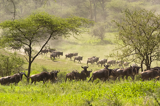 AFW 03 NE0009 01 © Kimball Stock Herd Of Blue Wildebeest Running On Savanna Tanzania