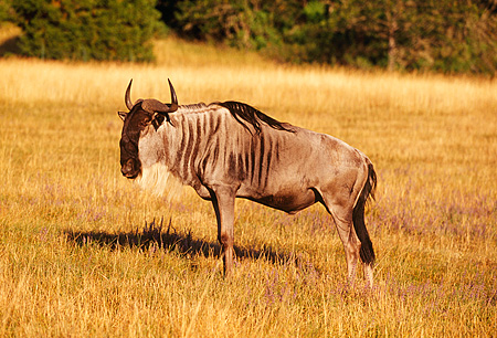 AFW 03 RK0001 01 © Kimball Stock Profile Shot Of White Bearded Wildebeest (Connochaetes Taurinus)