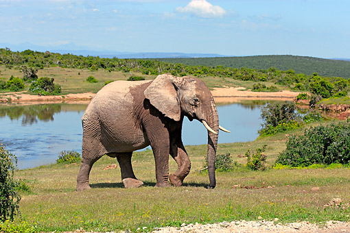 AFW 04 AC0004 01 © Kimball Stock African Elephant Walking Near Waterhole, Eastern Cape, South Africa