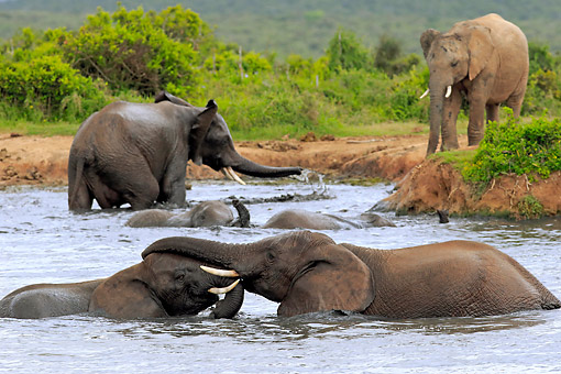 AFW 04 AC0006 01 © Kimball Stock African Elephants Bathing In Waterhole, Eastern Cape, South Africa