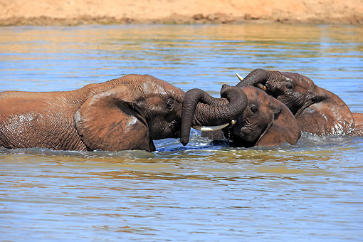 AFW 04 AC0007 01 © Kimball Stock African Elephants Bathing In Waterhole, Eastern Cape, South Africa