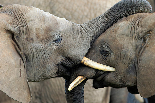 AFW 04 AC0008 01 © Kimball Stock African Elephants Hugging, Eastern Cape, South Africa
