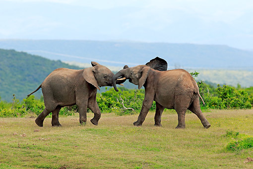 AFW 04 AC0009 01 © Kimball Stock African Elephants Hugging, Eastern Cape, South Africa