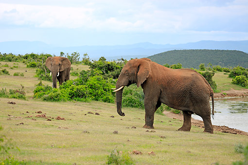 AFW 04 AC0010 01 © Kimball Stock African Elephants Standing Near Waterhole, Eastern Cape, South Africa