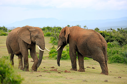 AFW 04 AC0011 01 © Kimball Stock African Elephant Males Displaying, Eastern Cape, South Africa