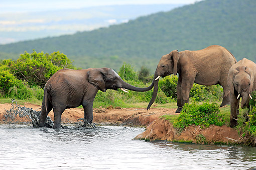 AFW 04 AC0012 01 © Kimball Stock African Elephants Standing At Waterhole, Eastern Cape, South Africa