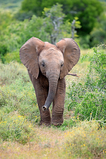 AFW 04 AC0013 01 © Kimball Stock African Elephant Young Walking, Eastern Cape, South Africa