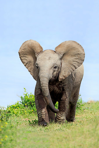 AFW 04 AC0014 01 © Kimball Stock African Elephant Young Walking, Eastern Cape, South Africa