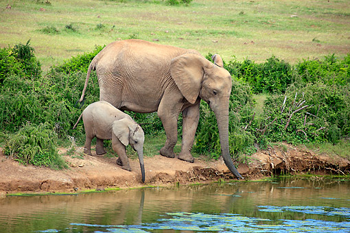AFW 04 AC0015 01 © Kimball Stock African Elephant Adult Female And Young Drinking At Waterhole, Eastern Cape, South Africa