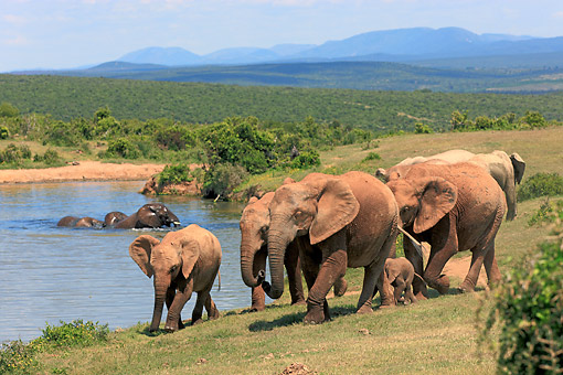 AFW 04 AC0016 01 © Kimball Stock African Elephant Adults  And Young Walking Near Waterhole, Eastern Cape, South Africa