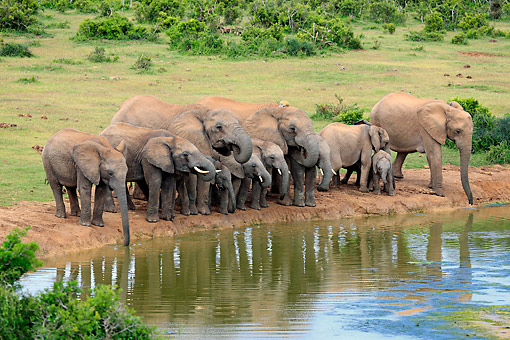 AFW 04 AC0017 01 © Kimball Stock African Elephant Adults  And Young Drinking At Waterhole, Eastern Cape, South Africa