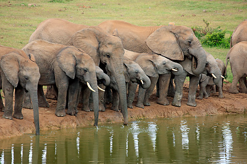 AFW 04 AC0018 01 © Kimball Stock African Elephant Adults  And Young Drinking At Waterhole, Eastern Cape, South Africa