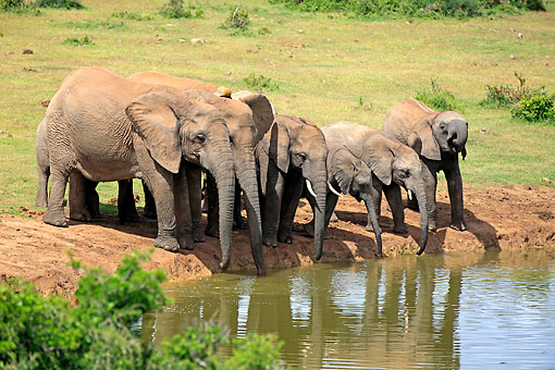 AFW 04 AC0019 01 © Kimball Stock African Elephant Adults  And Young Drinking At Waterhole, Eastern Cape, South Africa