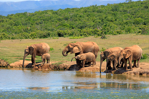 AFW 04 AC0020 01 © Kimball Stock African Elephant Adults  And Young Drinking At Waterhole, Eastern Cape, South Africa