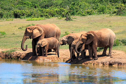 AFW 04 AC0021 01 © Kimball Stock African Elephant Adults  And Young Drinking At Waterhole, Eastern Cape, South Africa
