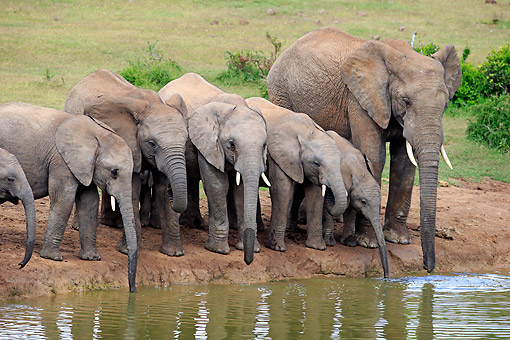 AFW 04 AC0023 01 © Kimball Stock African Elephant Adults  And Young Drinking At Waterhole, Eastern Cape, South Africa