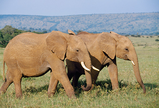 AFW 04 BA0001 01 © Kimball Stock African Elephants Walking In Grass Field