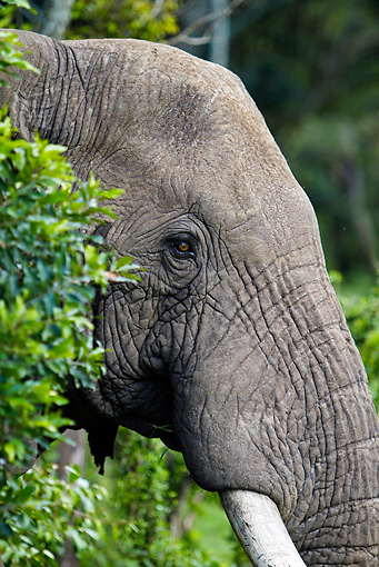 AFW 04 DB0011 01 © Kimball Stock Head Shot Of African Elephant Peeking Through Trees