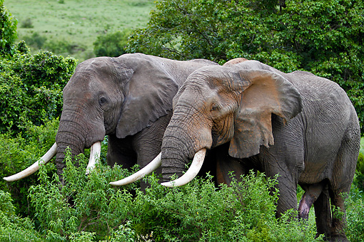 AFW 04 DB0015 01 © Kimball Stock Two African Bull Elephants Standing In Trees