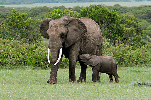 AFW 04 DB0016 01 © Kimball Stock African Elephant Mother Standing In Savanna With Calf