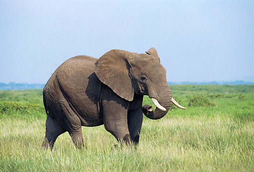 AFW 04 GL0001 01 © Kimball Stock African Elephant Walking In Grassland
