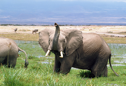 AFW 04 GL0002 01 © Kimball Stock African Elephant Standing On Grass Near Watering Hole