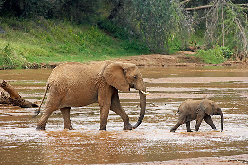 AFW 04 GL0004 01 © Kimball Stock African Elephant Mother And Calf Walking Through Stream Kenya