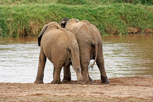 AFW 04 GL0007 01 © Kimball Stock Back View Of Two African Elephants Standing By Stream Kenya