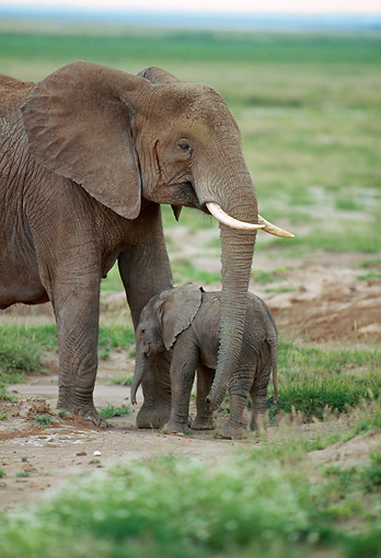 AFW 04 GL0008 01 © Kimball Stock Portrait Of African Elephant Mother And Calf On Grassland Kenya