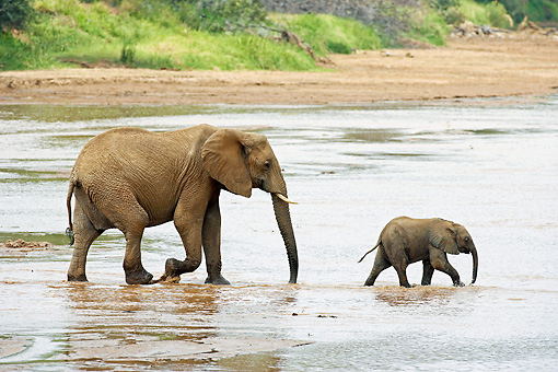 AFW 04 GL0012 01 © Kimball Stock African Elephant Mother And Calf Crossing River Kenya