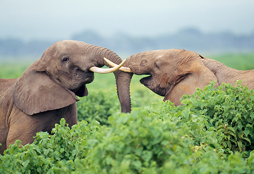 AFW 04 GL0013 01 © Kimball Stock Two African Elephants Fighting In Shrubs