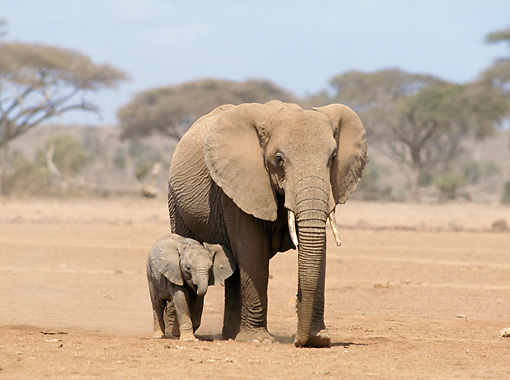 AFW 04 GL0014 01 © Kimball Stock African Elephant Mother And Calf Walking Through Plains