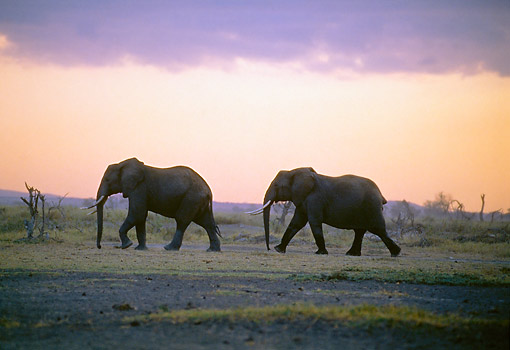 AFW 04 GL0016 01 © Kimball Stock Two African Elephants Walking Across Savanna At Sunset