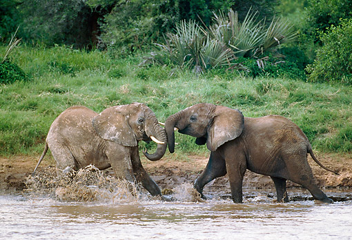 AFW 04 GL0019 01 © Kimball Stock Two African Elephants Sparring In Shallow Water