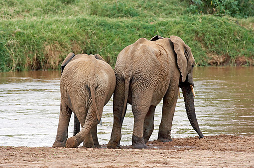 AFW 04 GL0020 01 © Kimball Stock African Elephant Adult And Young Drinking At River In Samburu Park, Kenya