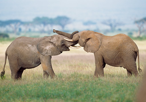 AFW 04 GL0022 01 © Kimball Stock Two African Elephants Sparring In Kenya