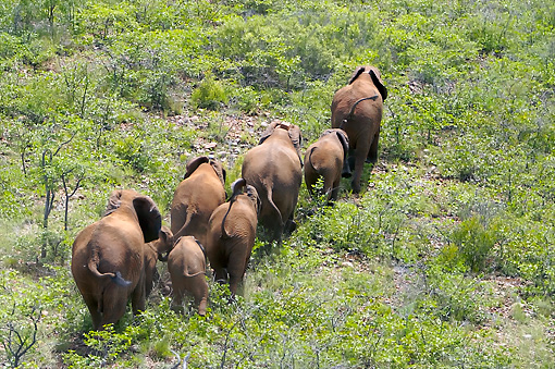 AFW 04 HP0005 01 © Kimball Stock Herd Of Mozambique Elephants Walking Through Vegetation