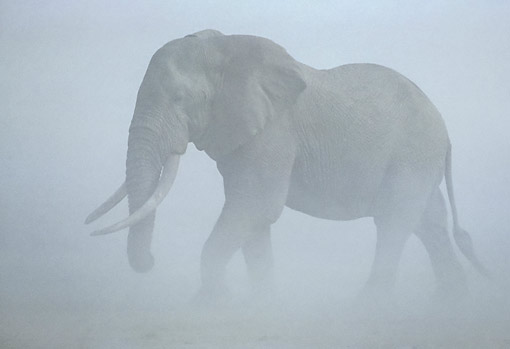 AFW 04 JE0002 01 © Kimball Stock African Elephant Walking Through Fog In Kenya
