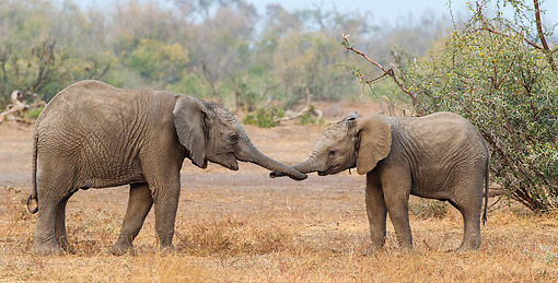 AFW 04 KH0002 01 © Kimball Stock Two African Elephants Playing And Greeting In Botswana