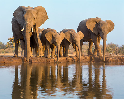 AFW 04 KH0008 01 © Kimball Stock African Elephants Drinking At Watering Hole In Botswana