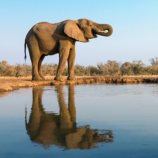 AFW 04 KH0009 01 © Kimball Stock African Elephant Drinking At Watering Hole In Botswana