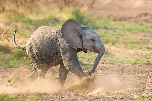 AFW 04 KH0010 01 © Kimball Stock African Elephant Calf Playing On Savanna In Botswana