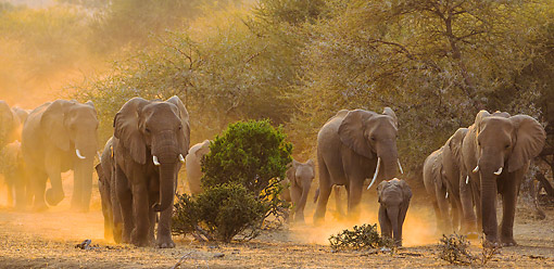 AFW 04 KH0014 01 © Kimball Stock Herd Of African Elephants Walking In Evening Dusk