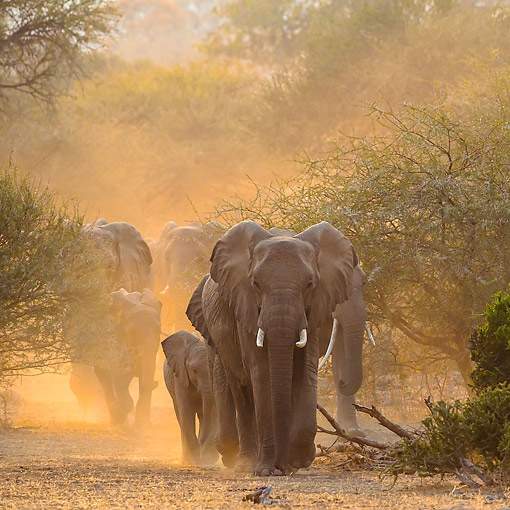 AFW 04 KH0015 01 © Kimball Stock Herd Of African Elephants Walking In Evening Dusk