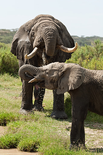 AFW 04 MC0004 01 © Kimball Stock African Elephants Drinking From Watering Hold Tanzania